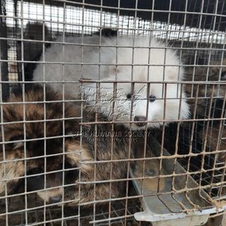 Humane Society is applauding ban on fur sales by the town of Wellesley
