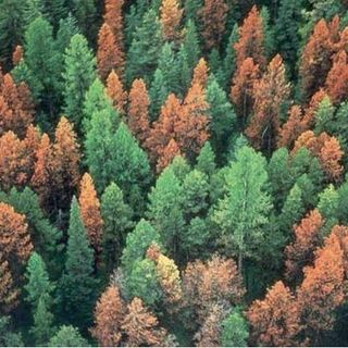 Honduras has ecological catastrophe with Southern pine beetle