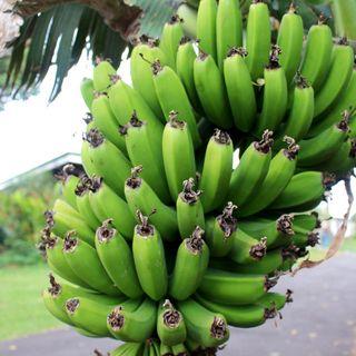 Control del picudo en el sistema productivo del plátano