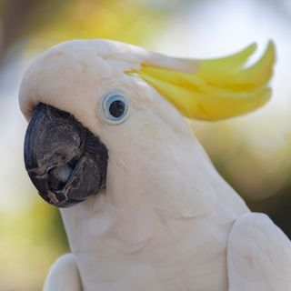 Jacko the Cockatoo safely back at his Home Hardware store in regional Victoria, @VictoriaPolice report