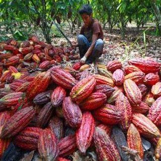 El regreso de l'America Latina - Dalla coca al cacao