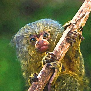 Nueva especie de Primate, ¡el más pequeño del mundo!