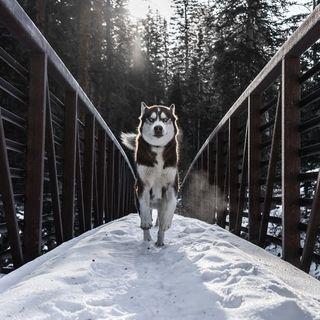 76: Husky