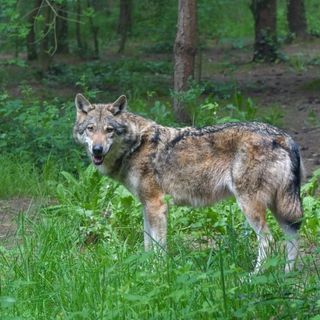 Assalto notturno dei lupi al ricovero per animali selvatici. Dilaniati due caprioli e un muflone