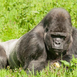 Cincinnati Zoo Gorilla Exhibit Reopens