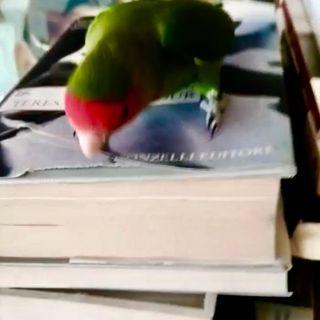 voices/rosi, ma questi pappagallini