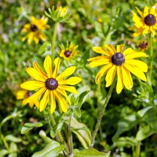 Plant these 8 Great Companion Plants with your Black-eyed Susans this Fall - DIY Garden Minute Ep.160