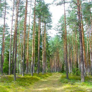 El bosque de Pokaini, por Marcus Polvoranca (Enigmas Misteriosos & Inexplicables, el podcast / Episodio 1)