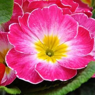 DIY Garden Minute Ep59 Primula vulgaris - A Mini Plant Profile