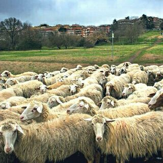 #roma Pecore