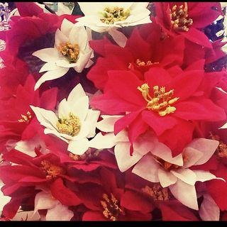 Cuetlaxochitl. La Flor De Pascua.