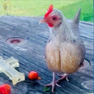 """SAFS-0050 - 2021.08.24 - """"Cover Me While I Rescue the Prize Winning Chicken!"""""""
