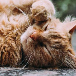 La pandemia ha reso i gatti più affettuosi? Ce lo spiega il Dottor Perini