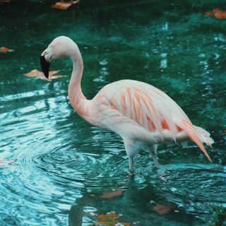 Camille Saint-Saëns-The carnival of the animals-The Swan