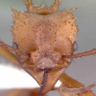 BacterioFiles 251 - Mycophagous Myrmicinae Mutualist Microbes