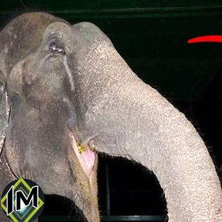 La storia di Raju e della sua prigionia, un elefante pieno di sentimenti...