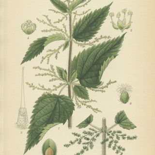 Show 38: The Witch Hazel, Nettles, Purslane and Buckwheat Families of Herbs