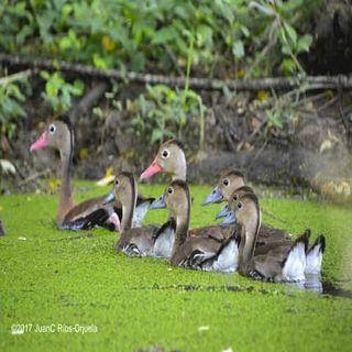 Aves Acuáticas.