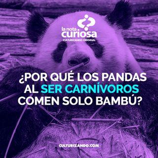 ¿Por qué los pandas al ser carnívoros comen solo bambú? • Curiosidades - Culturizando
