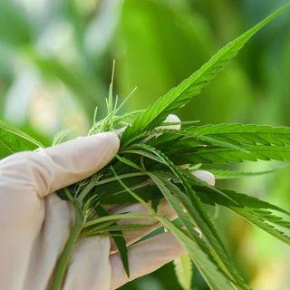 Localidad argentina impulsa cultivo comunitario de cannabis con fines medicinales.- Epi 42