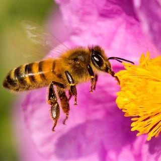 La importancia de las  abejas en el futuro de la humanidad