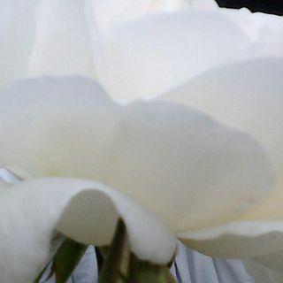 manjess-flower sega