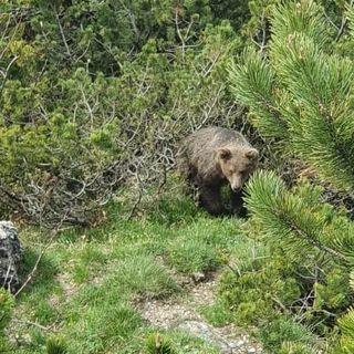 Cucciolo di orso avvistato sul Sengio Alto. Avvisate le autorità competenti