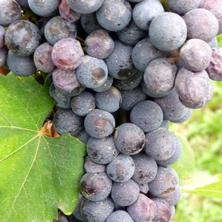 Ep 244: The Grape Miniseries -- Nebbiolo