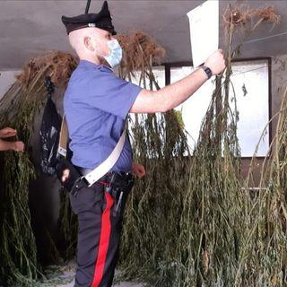 Carabinieri scoprono una piantagione di marijuana nella boscaglia