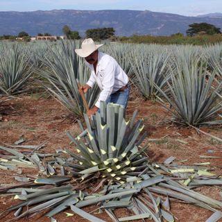 3 de 3 Tequila, Jalisco