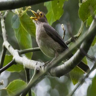 Cantos y reclamos de las Aves. Cómo el Covid-19 beneficiará a la naturaleza.