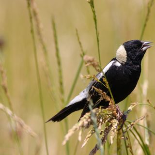 Episode 2: The Bobolink As A Notion