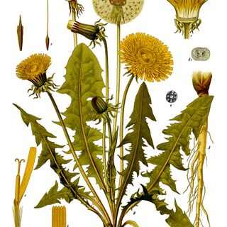 Show 45: Preparedness and the Dandelion Family of Herbs