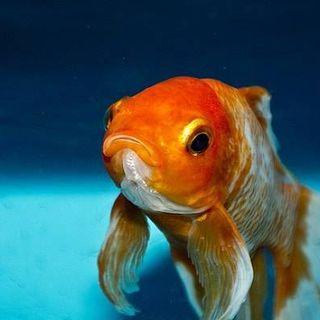 Pulore e il pesce rosso