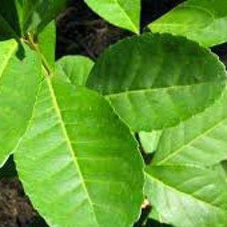 A origem da erva-mate
