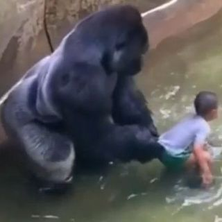 Who's To Blame For Zoo Gorilla Being Killed Following Child Entering Its Enclosure?