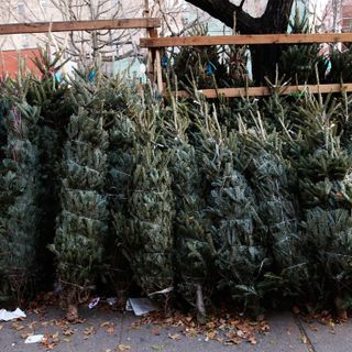 Ep. 24: The curious life of urban Christmas tree sellers