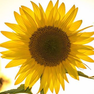 2019-10-30am - John Sandbakken on the Sunflower harvest