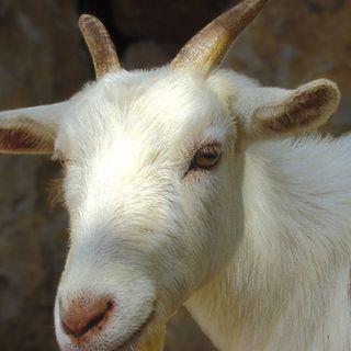 El Recuento: Hoy suena la cabra