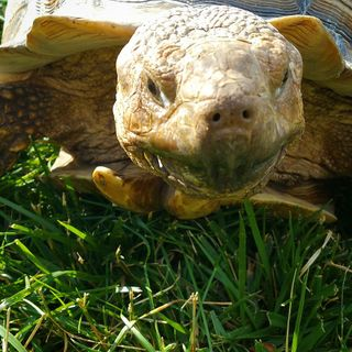 Episode 3: African Spur-thighed Tortoise