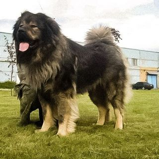 Caucasian shepherd dog, the dog of the Berlin Wall