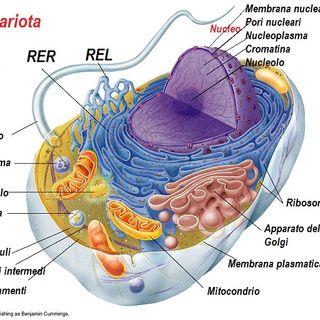 La cellula eucariote