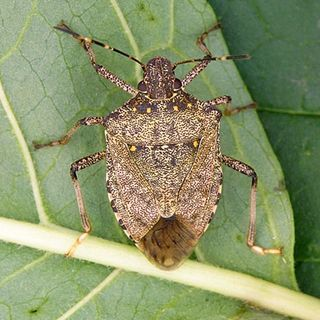 Dr. Lee Townsend - Stink bugs