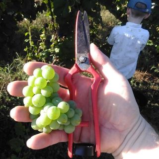 Grape Harvest in Bairrada, Portugal. And the Luis Pato Picking Party!