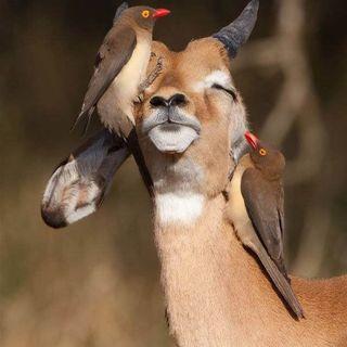 Buongiorno in connessione all'antilope!