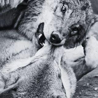 La Vita Segreta dei Lupi - Ecologia & Curiosità (w/ Alice Cipriani | Autore)