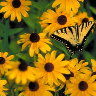 DIY GM Ep88 Black-eyed Susan - Butterfly Favorite Flowers