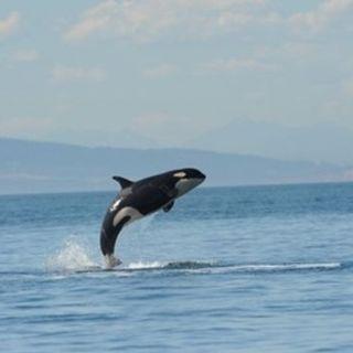 Ken Balcomb Listens to Orcas