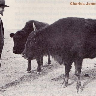 Buffalo Jones saves the last of the Buffalo