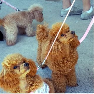 All About The Poodle Fun Day! - Dr Jo Sillince